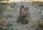 Jackrabbit | Recurso educativo 29339