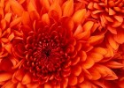 Chrysanthemum.jpg | Recurso educativo 684521